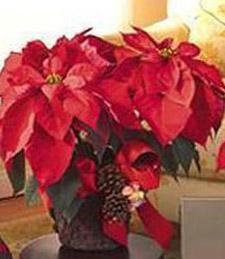 Large Christmas Poinsettia