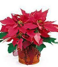 Hot Pink Poinsettia