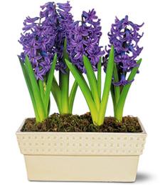 My Blue Hyacinth