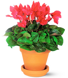 Red Cyclamen of Love