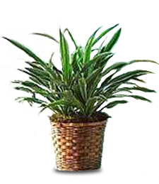 Dracaena Warneckii -- Birthday