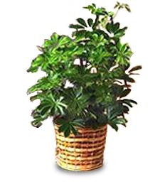 Schefflera (Arboricola)