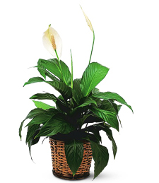 My Little Spathiphyllum