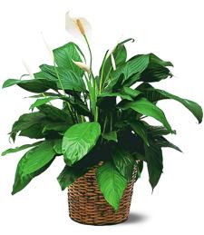 Garden Spathiphyllum