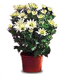 Daisy Chrysanthemum