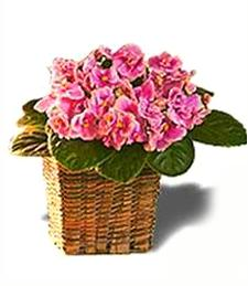Colorful Violets in Basket