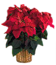 Medium Poinsettia