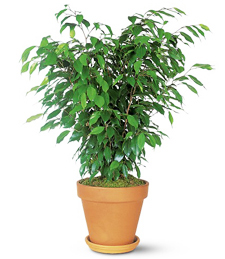 My Perfect Ficus