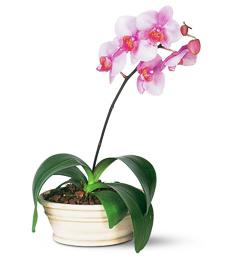 Lavender Peace Orchids