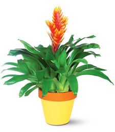 Brilliant Bromeliad