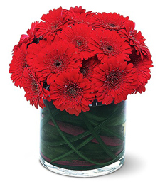 Dashing Red Gerbera