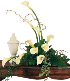 Soft White Callas