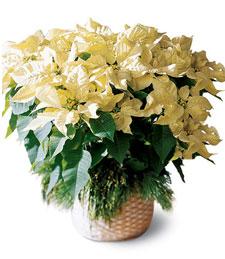 White Poinsettia Basket