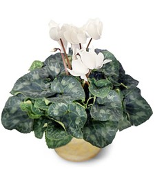 White Cyclamen Birthday Plant
