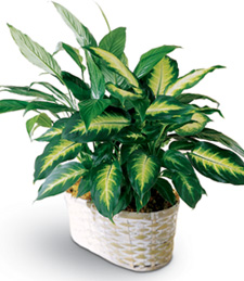 Birthday Spathiphyllum and Dieffenbachia