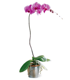 Lavender Phalaenopsis Thinking of You Orchid