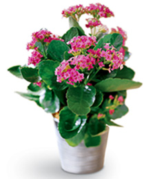 Pink Thinking of You Kalanchoe