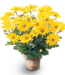 Birthday Daisy Chrysanthemum