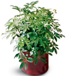 Thank You Schefflera Arboricola