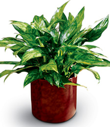 Get Well Chinese Evergreen