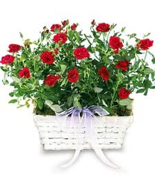 Plentiful Red Garden