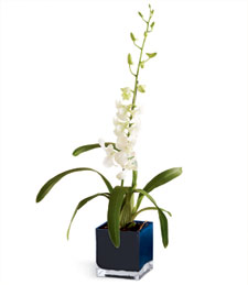 Exotic White Dendrobium