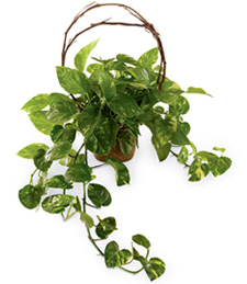 Pothos Under the Vine