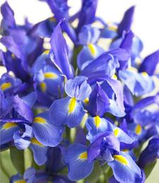 Sea of Iris