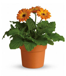 Orange Sunrise Potted Gerbera