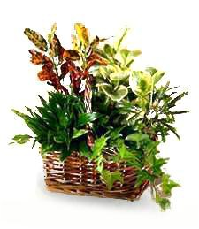 Congratulations Planter Basket