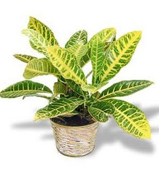 Birthday Croton Plant