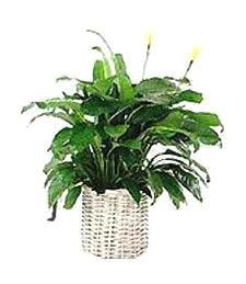 Blooming Funeral Peace Lily