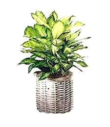 Large Variegated Get Well Plant