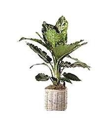 Thinking of You Plant Basket