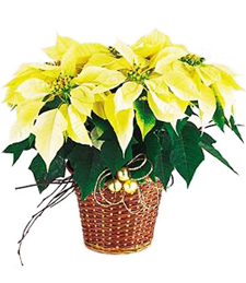 Glowing Poinsettia
