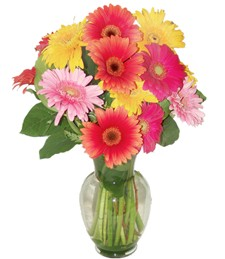 Rainbow of Gerbera