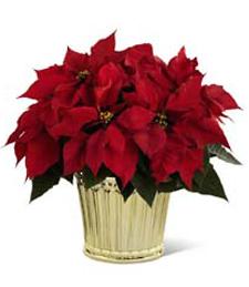 A Christmas Time Poinsettia