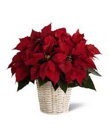 Christmas Time Poinsettia