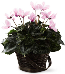 A Little Pink Cyclamen