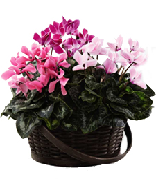 Picture Perfect Cyclamen