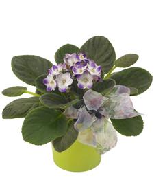 Violet Petals of My Soul
