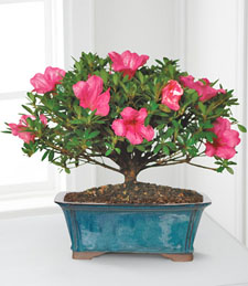 Azalea Bonsai - 10-inch