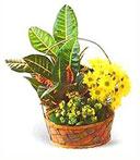 Croton Garden Basket