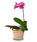 Small Phalaenopsis Orchid